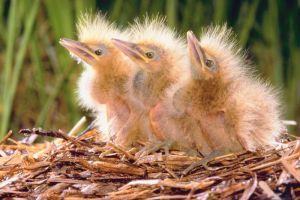 babybirds3