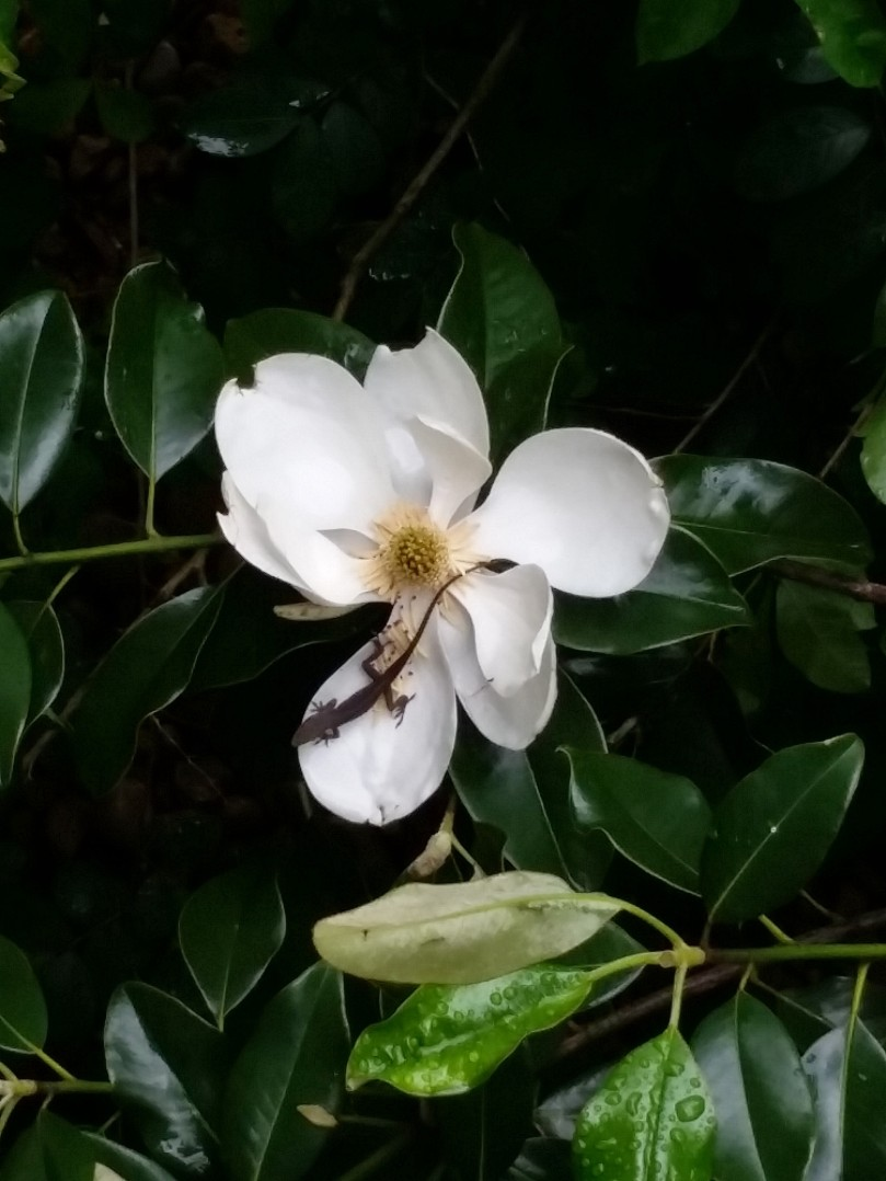 lizard on magnolia flower